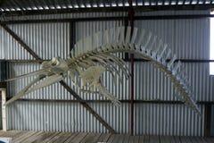 Gray`s Beaked Whale skeleton, Cheynes Beach Whaling Station, Albany, WA, Australia royalty free stock image