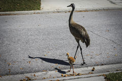 Gray Sandhill Cranes Crossing Road Stock Image