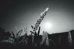 Gray-scale Landscape Photograph of Field of Wheat Stock Photography