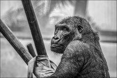 Gray Scale Photo of Black Ape Stock Photo