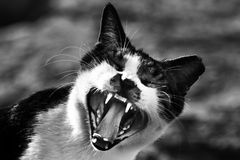 Gray Scale Photo of Cat Showing Mouth Royalty Free Stock Photography