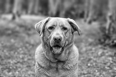 Gray Scale Photo of Dog Royalty Free Stock Images