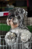 Gray Schnauzer dog in cage Royalty Free Stock Photography