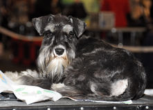 Gray Schnauzer dog Royalty Free Stock Photo