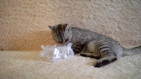 Gray scottish or britain cat with bride`s garter. On sofa stock footage