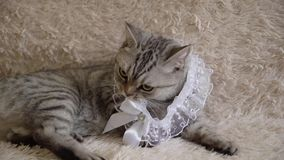 Gray scottish or britain cat with bride`s garter. On sofa stock video footage