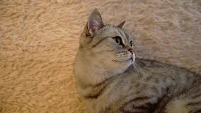 Gray scottish or britain cat. On sofa stock video footage