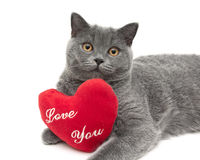 Gray scottish cat with a red cushion. white background. Royalty Free Stock Image