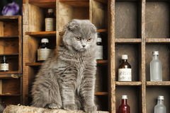 Gray Scottish Fold cat Royalty Free Stock Image
