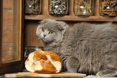 Gray Scottish Fold cat Stock Image