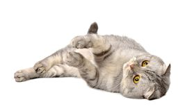 Gray Scottish fold cat. Isolated on white background Stock Photography