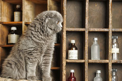 Gray Scottish Fold cat Stock Photography