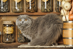 Gray Scottish Fold cat Royalty Free Stock Photo