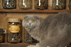 Gray Scottish Fold cat Stock Photo