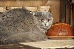 Gray Scottish Fold cat Stock Images