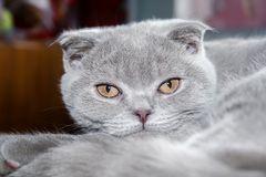 Gray Scottish Fold kitten with orange eyes.  stock photography