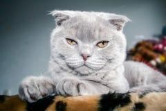 Gray Scottish Fold kitten with orange eyes.  royalty free stock image