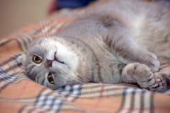 Gray Scottish slokörad katt royaltyfri fotografi