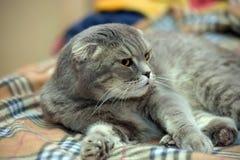 Gray Scottish slokörad katt royaltyfri bild