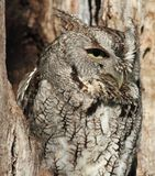 Gray screech owl in tree Stock Photos