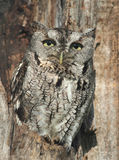 Gray screech owl in tree Royalty Free Stock Photography