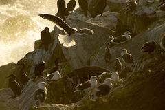 Gray Seagull im Flug mit Wasser Lizenzfreie Stockbilder