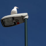 Gray Seagull keeping a watchfull eye. Larus argentatus, common gray seagull on a light post Royalty Free Stock Image