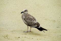 Gray seagull on sandy beach Royalty Free Stock Photo