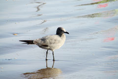 Gray seagull in sea water. Seagull gray birds in blue sea water Stock Image