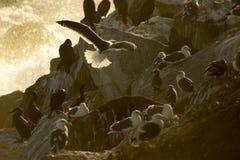 Gray Seagull in volo con acqua Immagini Stock Libere da Diritti