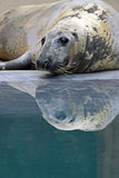 Gray Seal Royalty Free Stock Photos