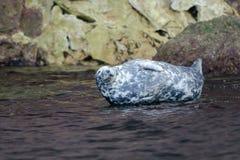 Gray Seal Royalty Free Stock Photos