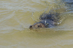 Gray seal with tracking device Stock Photo