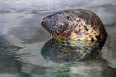 Gray Seal Stock Photography