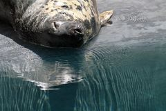 Gray Seal Royalty Free Stock Photography