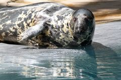 Gray Seal Stock Image