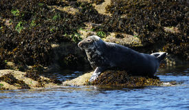 Gray Seal. A North Atlantic Gray (Grey) Seal basking on a seaweed covered rock at the edge of the sea royalty free stock photos