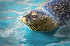 Gray seal in blue water Royalty Free Stock Photos