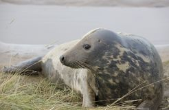 Gray Seal (Halichoerus Grypus) lying down. Gray Seal (Halichoerus Grypus), Donna Nook, Lincolnshire, England; Seal Lying Down Royalty Free Stock Photos