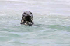 Gray Seal Stock Photo