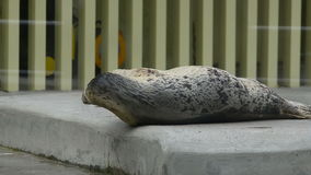 Gray seal. Having rest on a stone stock video
