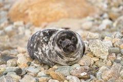 Gray Seal juvenil Imágenes de archivo libres de regalías