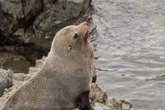 Gray Seal On Rock imagen de archivo