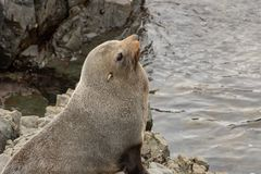 Gray Seal On Rock stock image