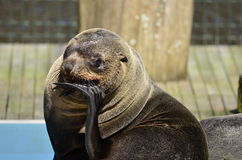 Gray seal. S seem to think Royalty Free Stock Photos