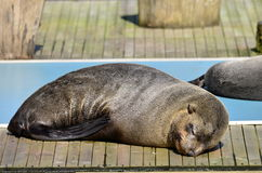 Gray seal sleeping. Gray seal have it good in the sun Royalty Free Stock Photography