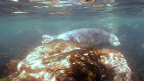 Gray seal swims  in underwater grass in Japan Sea. stock video