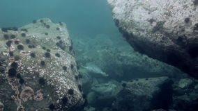 Gray seal swims among underwater rocks in Sea. stock footage