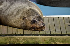Gray seal watching. Gray seal have it good in the sun Royalty Free Stock Photos