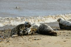 Gray seals lying on the Horsey Gap beach Royalty Free Stock Images